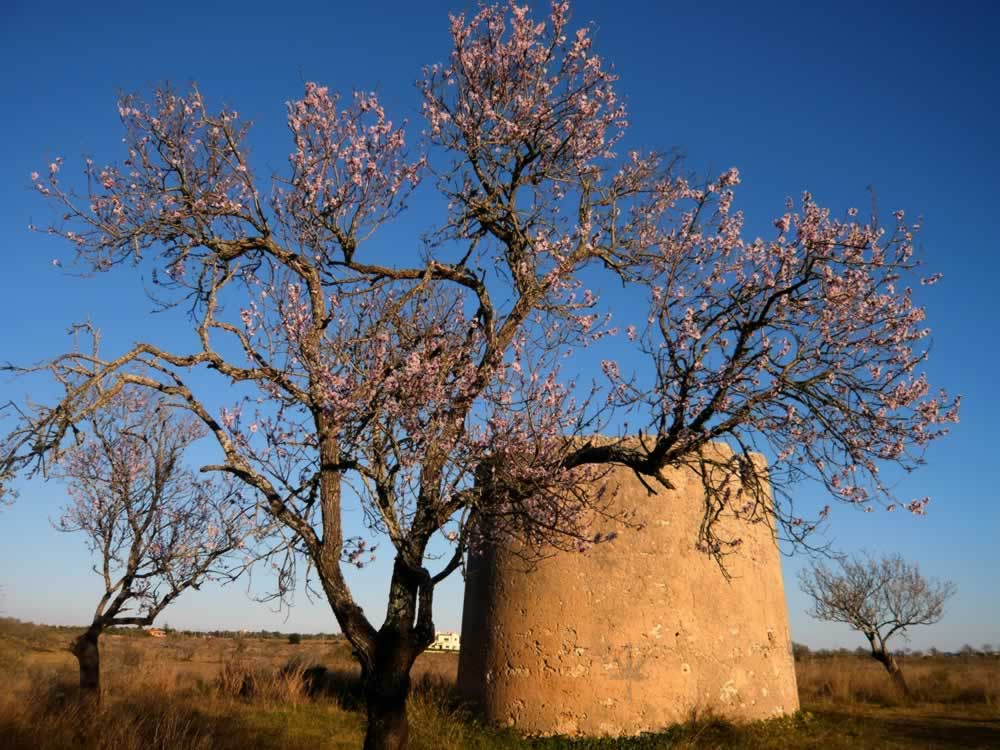 Pera, Portugal - Blossoming almond tree and ruined mill