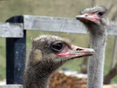 Ostriches at Valea cu Struti