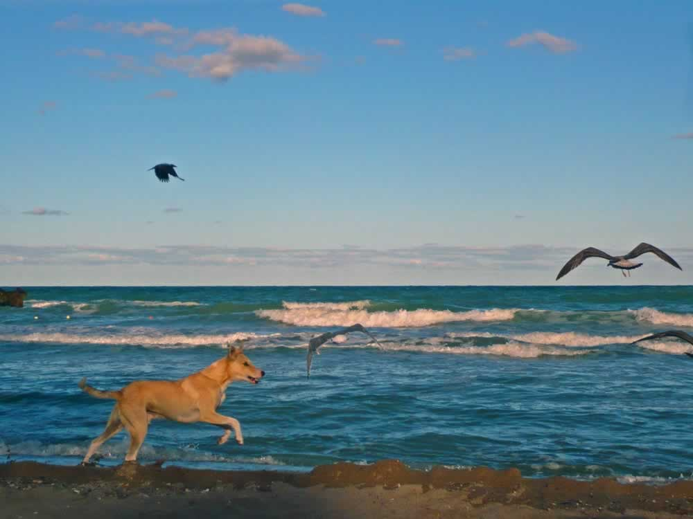 Black Sea, Romania – Dog Chasing Seagulls on the Beach