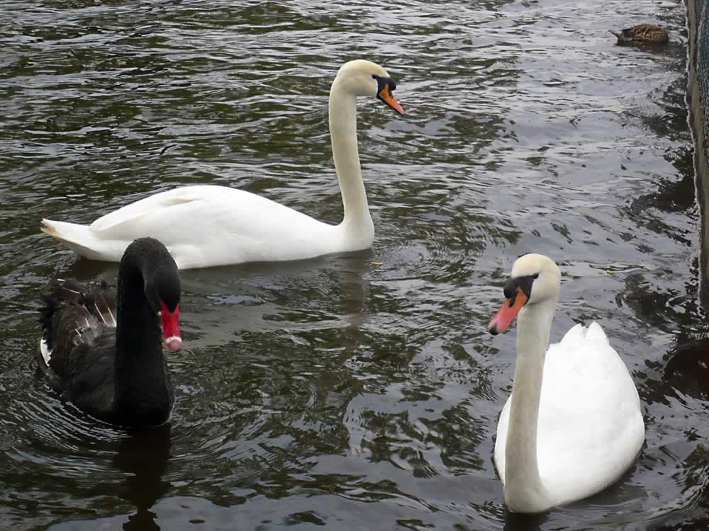 Black and White Swans on Herastrau Lake