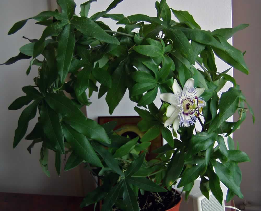 The circle of Passion Flowers