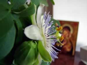 Blooming Passiflora with religious painting background