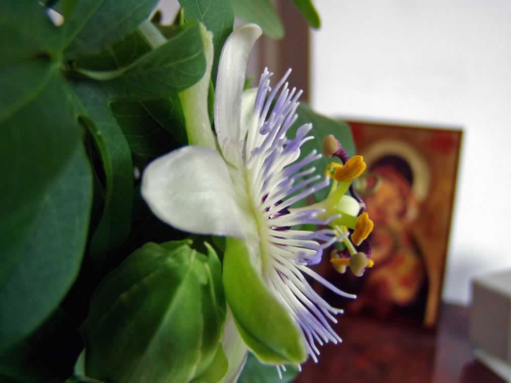 Passiflora – My Passion for the Passion Flower