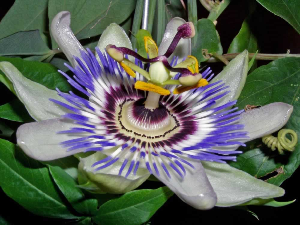 Another Passion Flower
