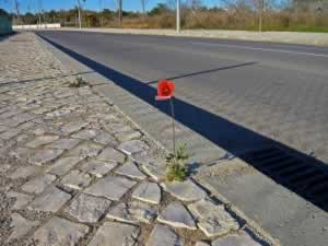 Red poppy growing on the sidewalk in Pera