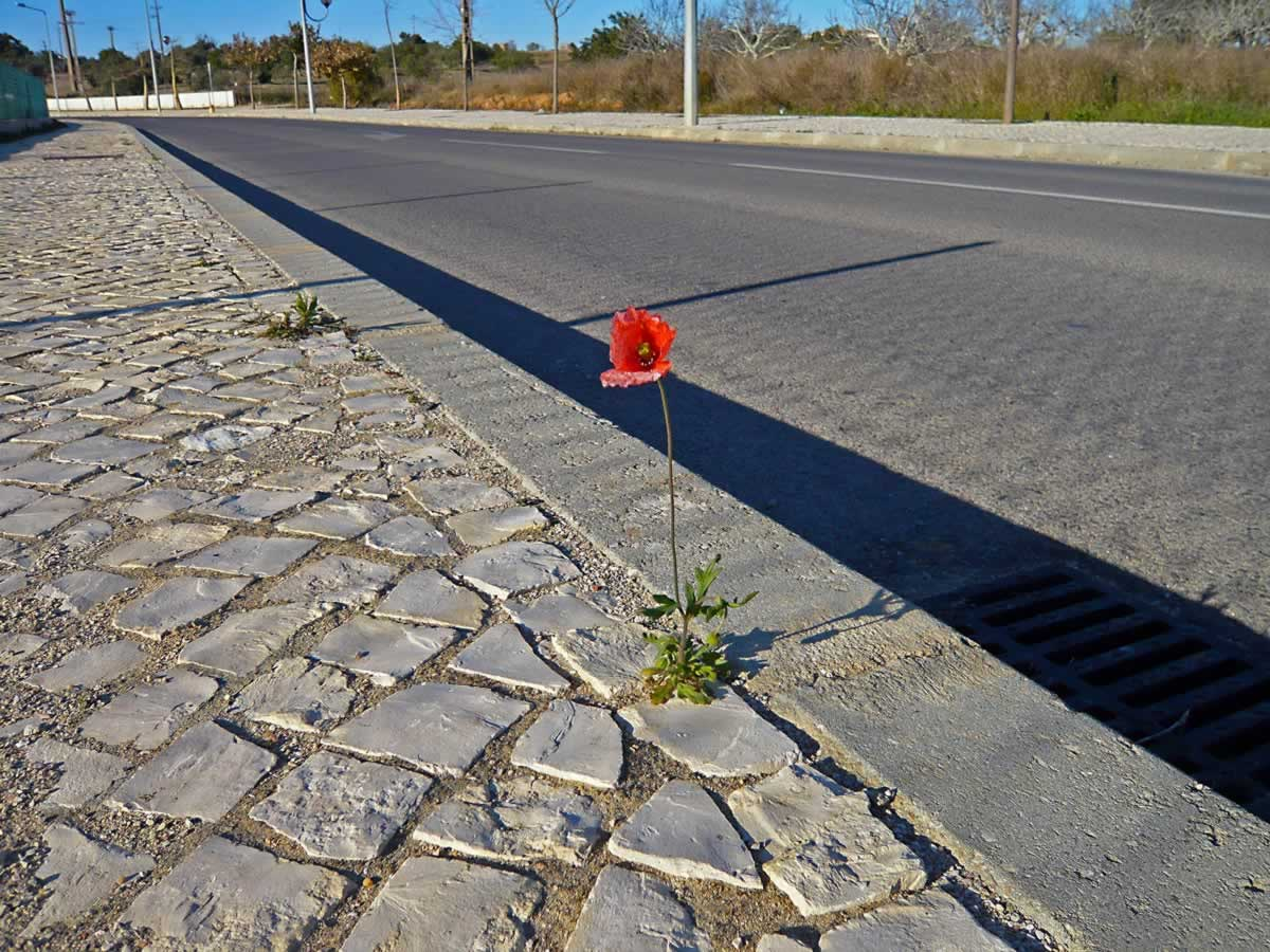 Red Poppy on the Sidewalk in Pera, Portugal