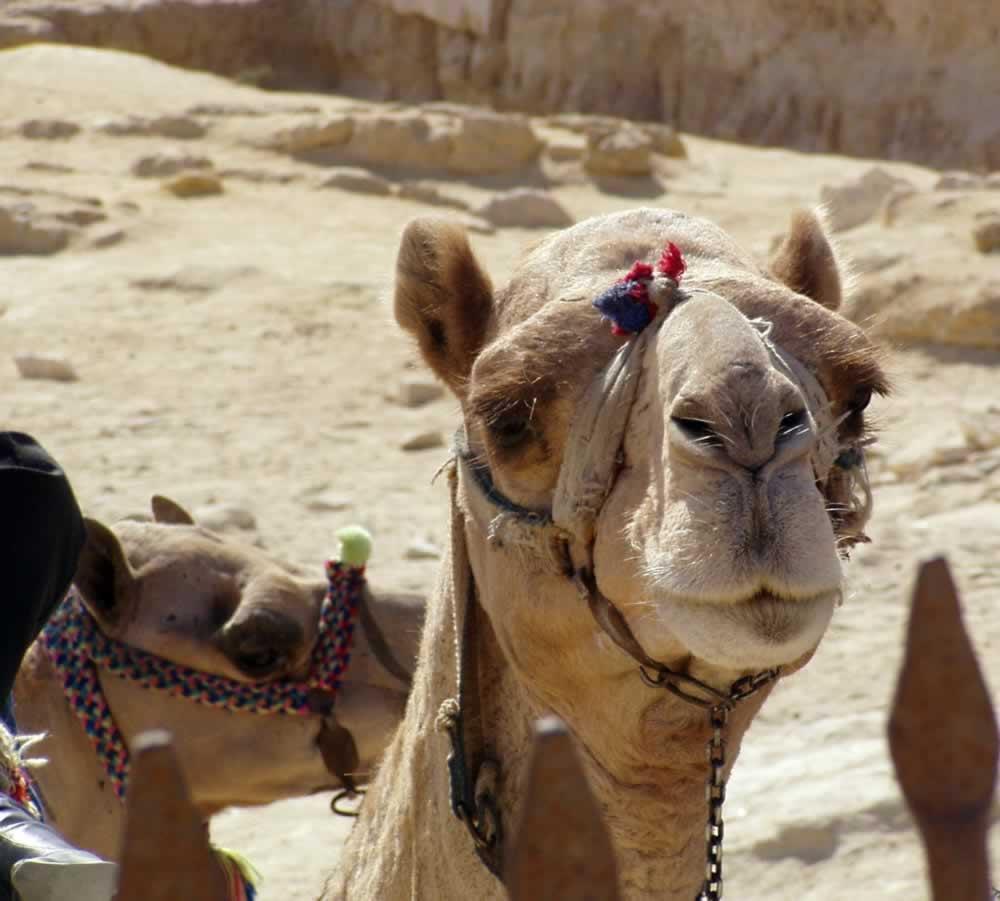 Camel close-up, Egypt