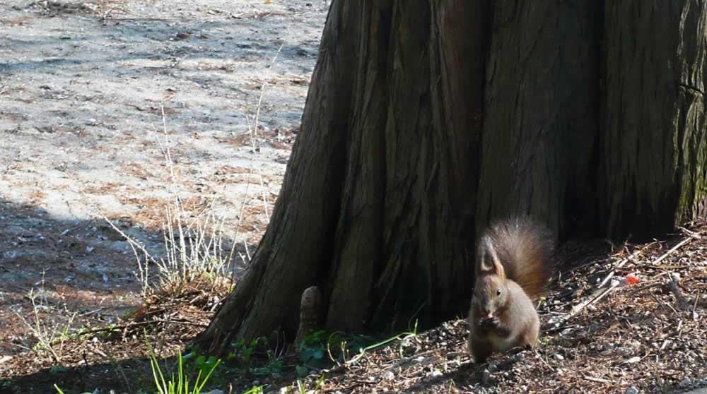 Squirrel in Herastrau Park, Bucharest, 2013