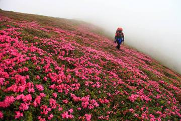 The Rhododendrons of Ciucas Mountain