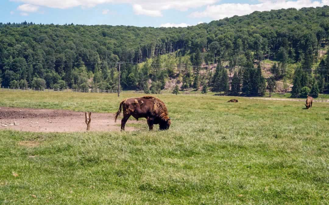 One Day Trip from Bucharest: the Bison Reserve in Vama Buzaului, Mud and Waterfalls