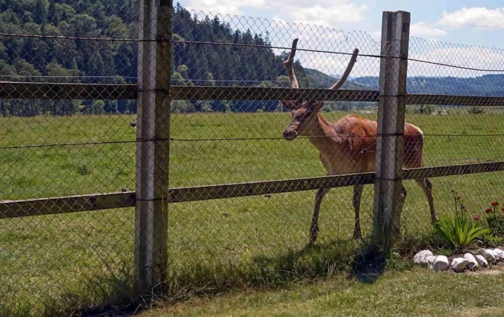 deer in vama buzaului reserve