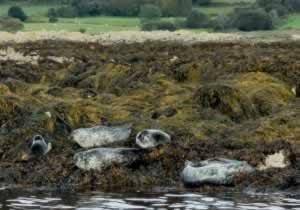 seals in kenmare bay