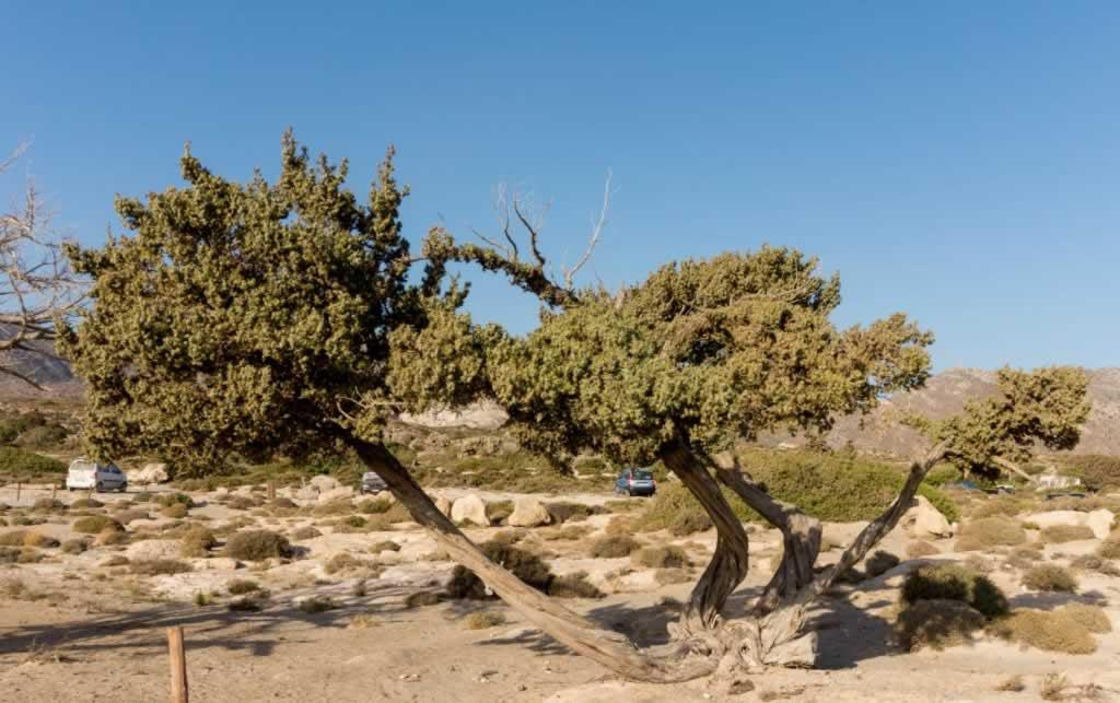 elafonissi trees