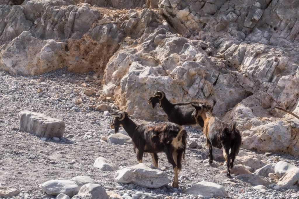 menies beach goats