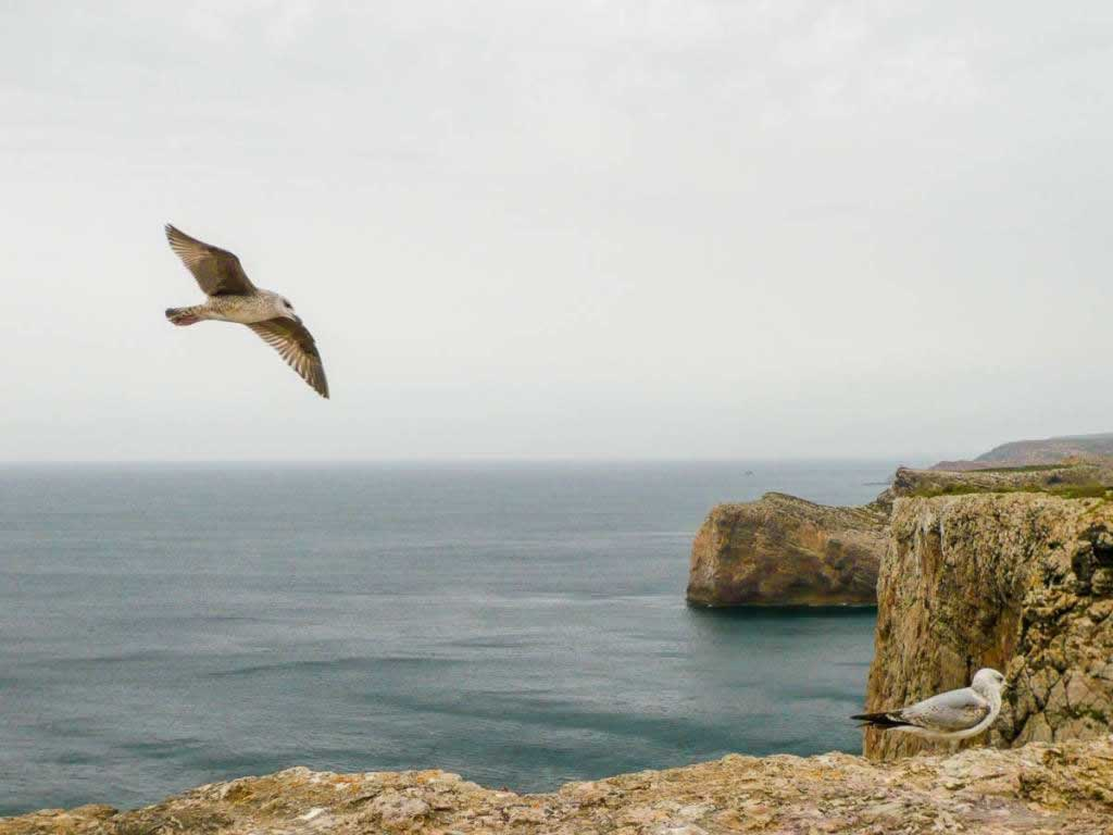 Seagull flying over cliffs in Sagres Portugal