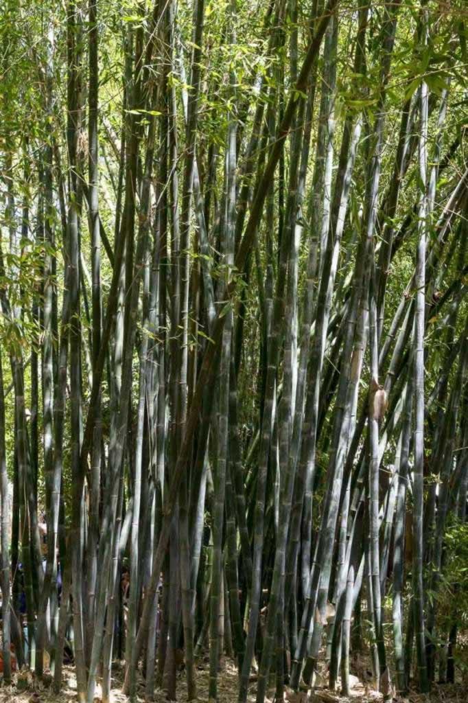 Majorelle Gardens bamboo forest