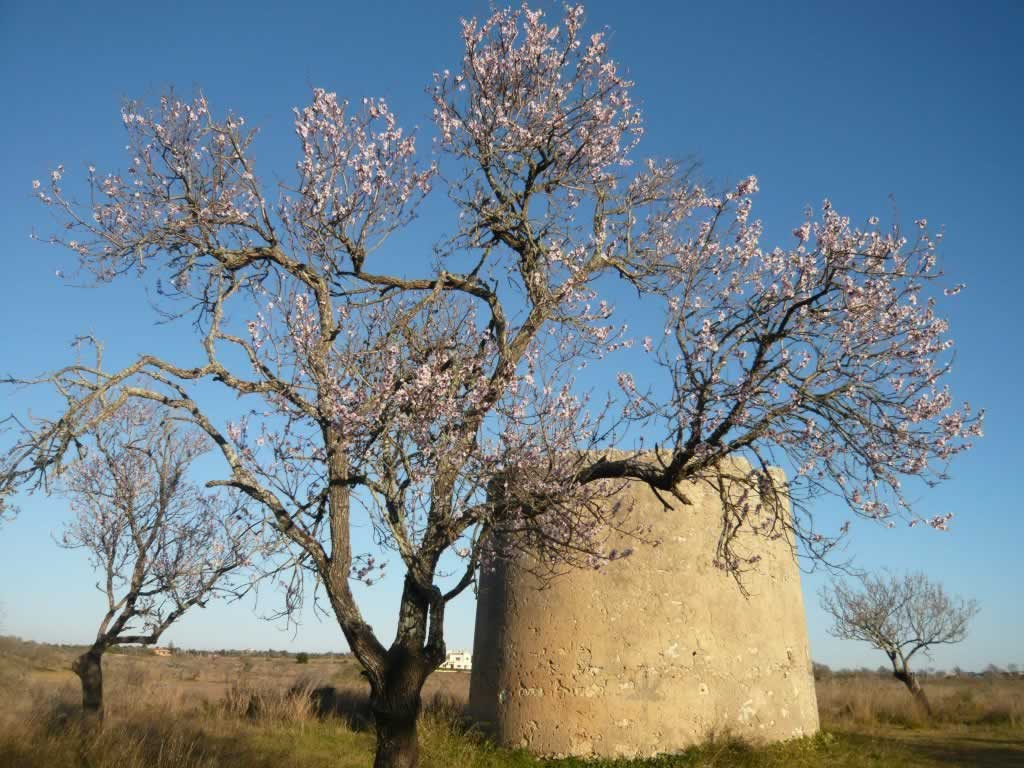 Algarve, Portugal blossoming almond tree with mill