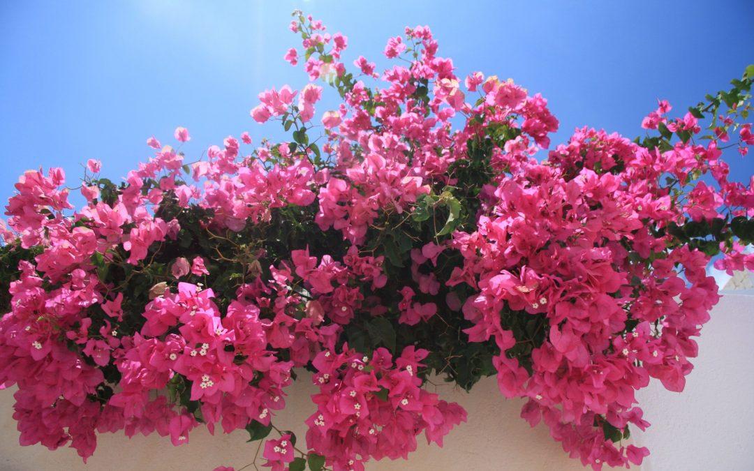 Bougainvillea flowers on Greek islands